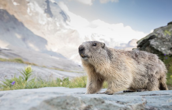 Picture the sky, face, mountains, nature, stones, teeth, marmot, rodent