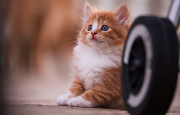 Picture cat, look, pose, kitty, background, wheel, baby, red, kitty, sitting