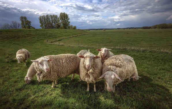 Picture field, nature, sheep