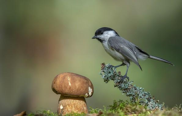 Picture background, bird, mushroom, bokeh, tit, Andrey Kiselev