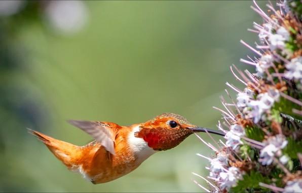 Picture flower, nature, bird, Animals, hummingbird