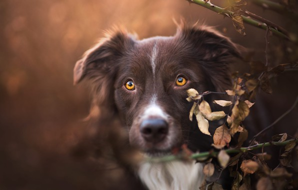 Picture autumn, look, face, leaves, branches, background, portrait, dog, brown, brown, yellow eyes, the border collie