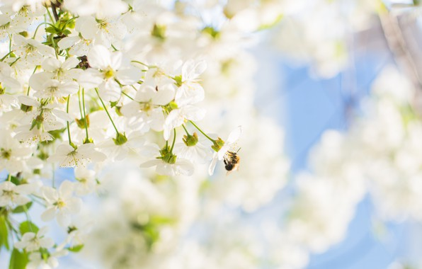 Picture cherry, tree, spring, blooms, flowering, the, blooms, bumblebee, smell