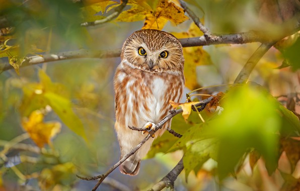 Picture look, branches, owl, bird, North American boreal owl