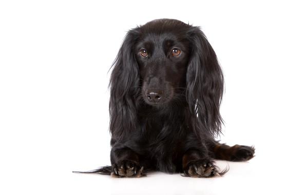 Picture dog, white background, Dachshund