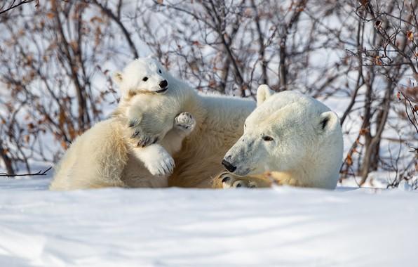 Picture winter, snow, bear, the bushes, bear, Polar bears, Polar bears