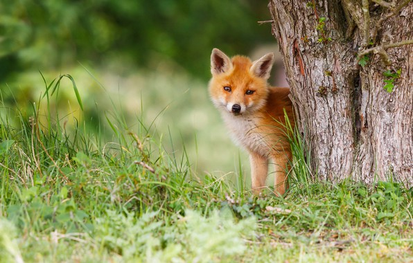 Picture grass, nature, pose, green, background, tree, paws, baby, red, muzzle, Fox, cute, bark, face, cub, …