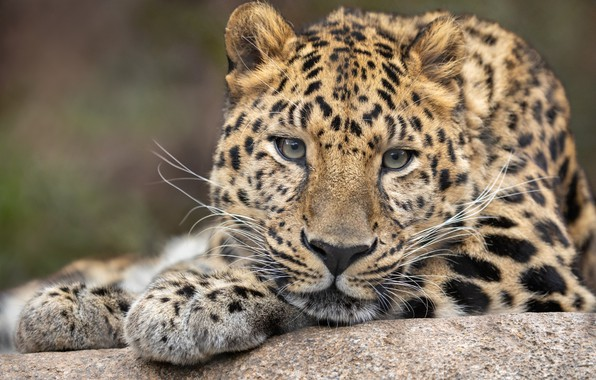 Picture face, background, portrait, leopard, wild cat, peer
