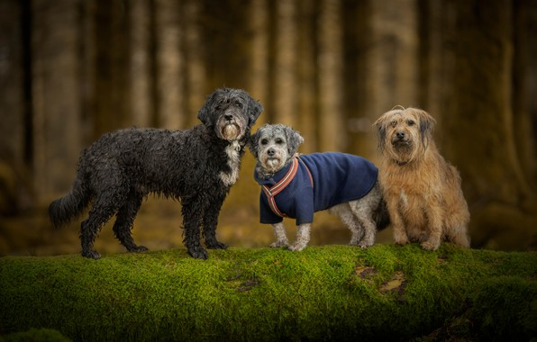 Picture forest, dogs, look, trees, nature, pose, background, tree, trunks, clothing, moss, three, walk, log, company, …