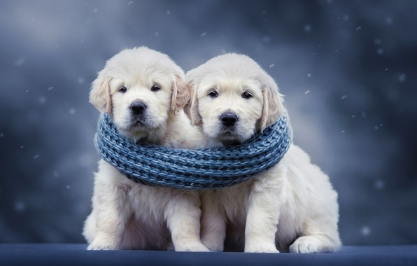 Picture dogs, background, scarf, puppies, a couple, Golden Retriever, Golden Retriever, Natalia Lays