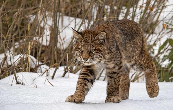 Picture snow, lynx, wild cat