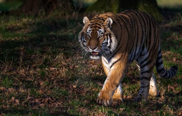 Picture tiger, predator, walk, wild cat