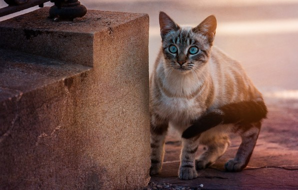Picture cat, look, blue eyes, cat