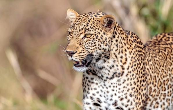 Picture face, predator, leopard, wild cat, bokeh
