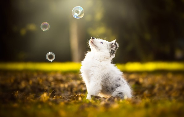 Picture autumn, white, look, leaves, nature, pose, Park, background, foliage, the game, dog, baby, bubbles, muzzle, …