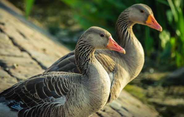 Picture birds, nature, pair, two, goose, geese