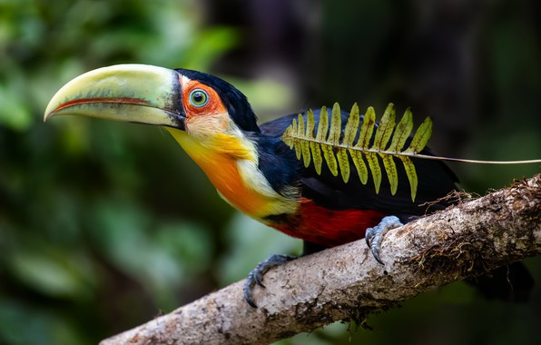 Picture bird, The red-breasted Toucan, Green-billed toucan, Ramphastos dicolorus