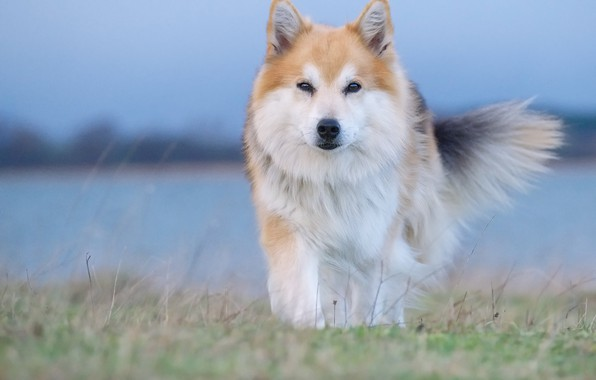 Picture look, dog, Icelandic Sheepdog, The Icelandic Sheepdog