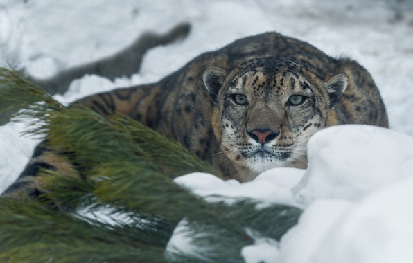 Picture winter, snow, branches, animal, predator, IRBIS, snow leopard, needles, Oleg Bogdanov