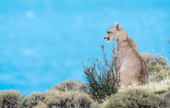 Picture profile, sitting, Puma, blue background, Cougar