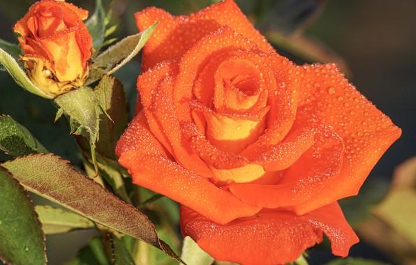 Picture drops, orange, Rosa, Rose, Bud