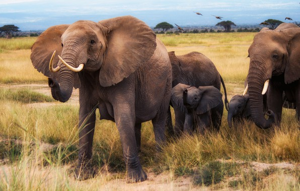 Picture field, grass, birds, nature, elephant, group, family, Savannah, Africa, walk, elephants, a lot, family, the …