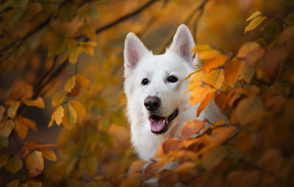 Picture autumn, look, face, branches, dog, yellow leaves, The white Swiss shepherd dog
