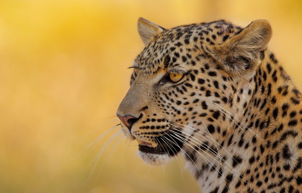 Picture face, background, portrait, leopard, wild cat