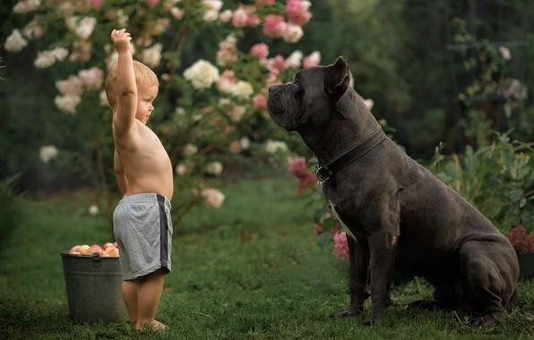 Picture apples, dog, boy, bucket, cane Corso, Alexander Aksenov