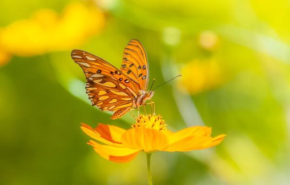 Picture flower, macro, background, butterfly, kosmeya