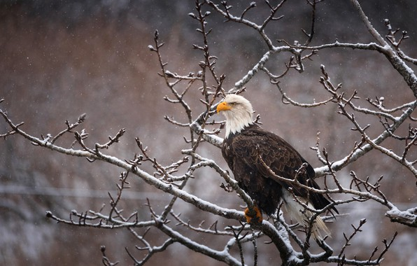 Picture winter, look, snow, branches, nature, pose, background, tree, bird, eagle, snowfall, bald eagle, sitting in …