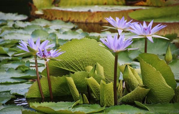 Picture leaves, flowers, flowering, water lilies