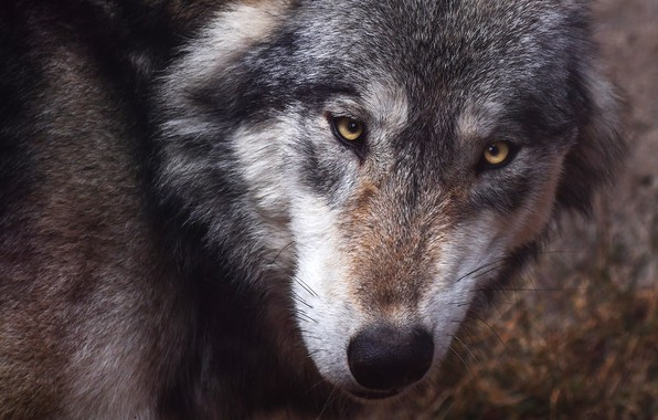 Picture eyes, look, face, close-up, grey, background, wolf, portrait, predator, looks, sullenly