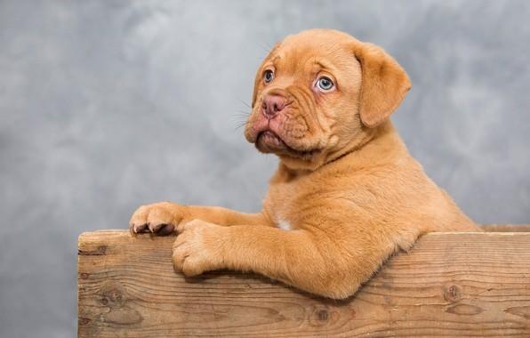 Picture dog, paws, muzzle, cute, puppy, box, sitting, Dogue de Bordeaux