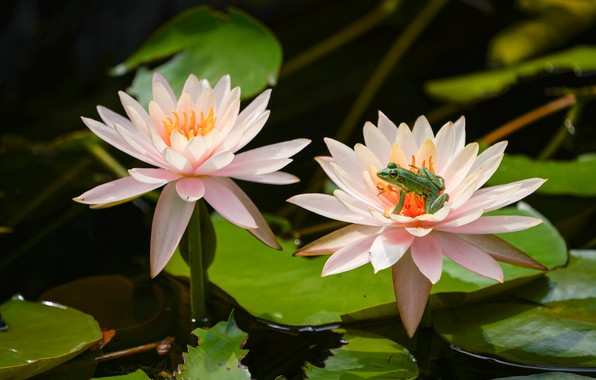Picture leaves, frog, petals, Duo, Nymphaeum, water Lily