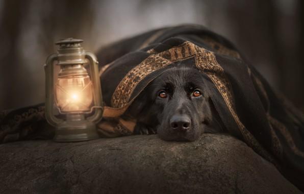 Picture look, face, stone, dog, lantern, plaid, German shepherd