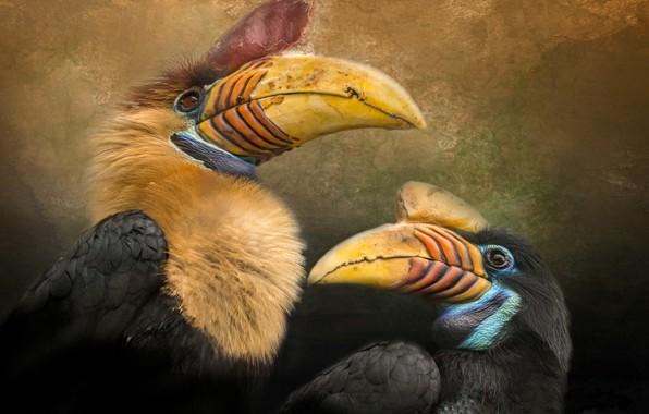 Picture birds, beak, pair, calao