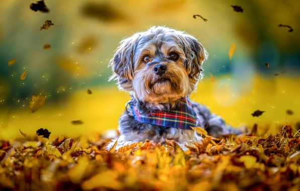Picture autumn, look, leaves, yellow, nature, background, mood, sweetheart, foliage, portrait, eyes, dog, puppy, lies, spout, …