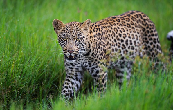 Picture grass, leopard, wild cat