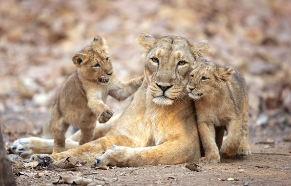 Picture the cubs, lioness, pride, lioness, pride, Milan Zygmunt, lion cubs