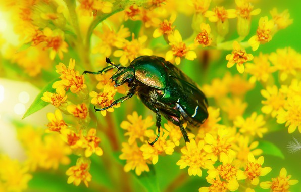 Picture summer, macro, flowers, green, background, beetle, yellow, insect, bright colors, brilliant, brantovka, brantovka Golden