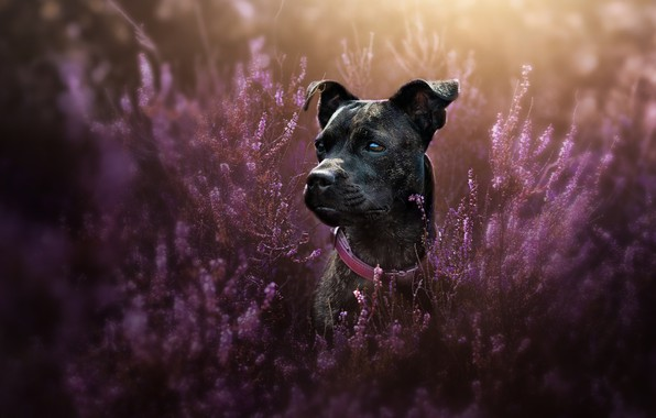 Picture look, face, portrait, dog, collar, Heather, Staffordshire bull Terrier