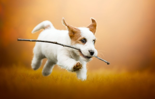 Picture autumn, grass, look, face, joy, orange, yellow, pose, sprig, background, glade, dog, positive, baby, running, …