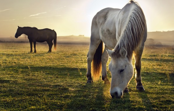 Picture field, white, the sky, grass, light, nature, pose, fog, grey, horse, horse, horses, morning, horse, ...