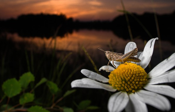 Picture flower, macro, Daisy, insect, grasshopper
