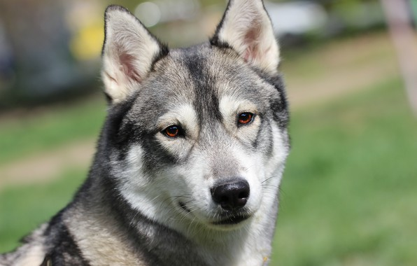 Picture background, each, dog, husky