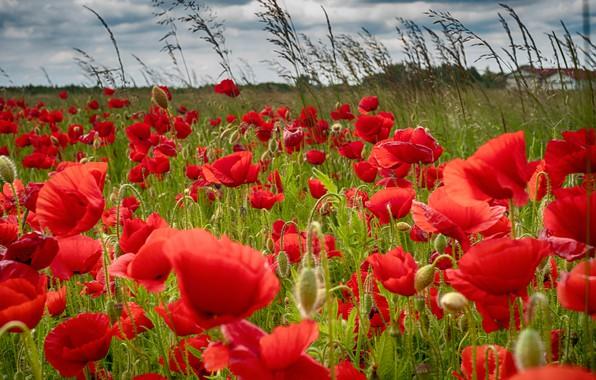 Picture summer, flowers, Maki, meadow, red, al, a lot, poppy field
