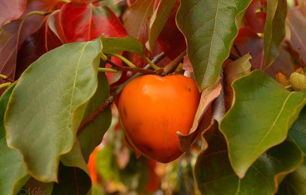 Picture Branch, Fruit, Wren