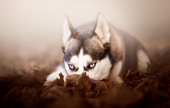 Picture autumn, look, face, leaves, nature, fog, grey, background, mood, foliage, portrait, dog, dog, lies, ears, …
