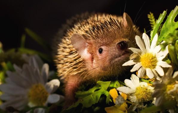 Picture look, light, flowers, needles, portrait, chamomile, nose, barb, muzzle, black background, hedgehog, artificial, hedgehog, hedgehog, …